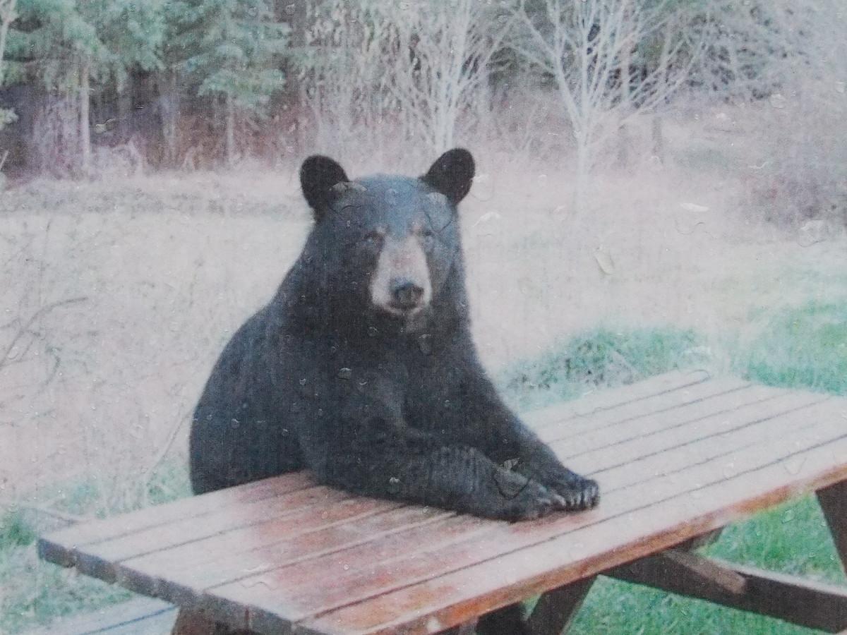 Get Bear Sitting At Picnic Table | imagebasket.net
